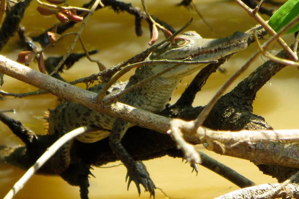 Baby American crocodile, Tárcoles River, Costa Rica