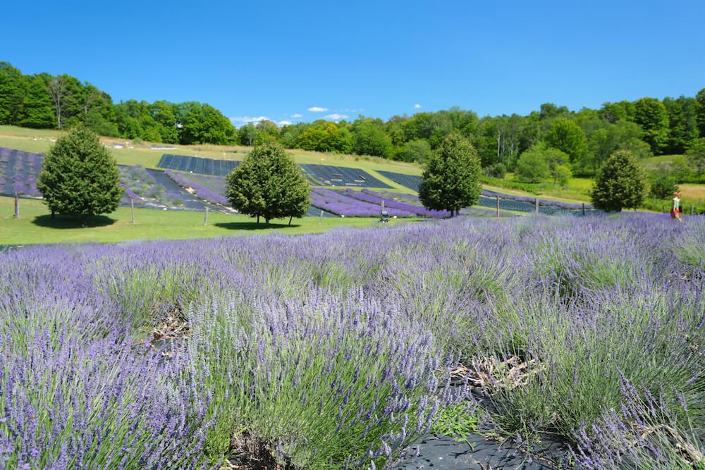 Lavender Hill Farm
