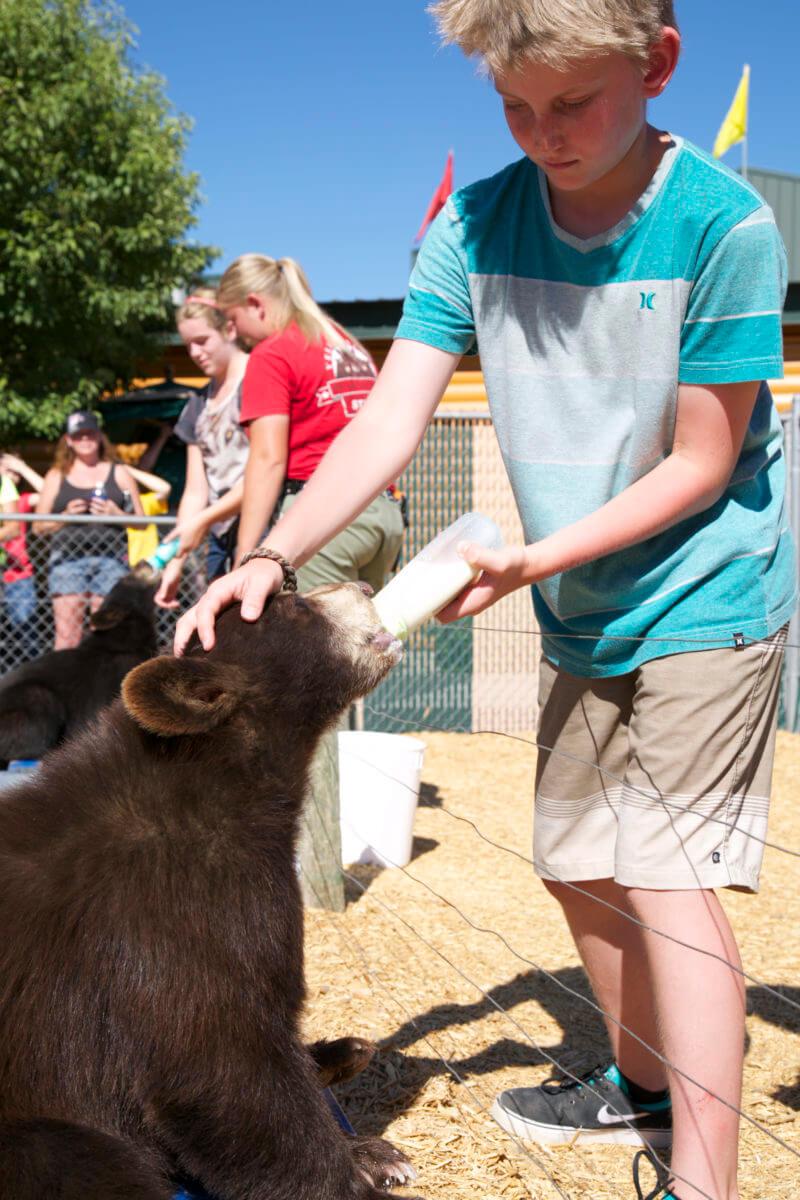 Feeding the bears at Yellowstone Bear World