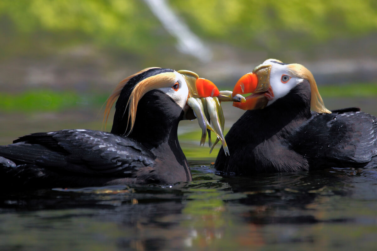 Oregon Coast Aquarium puffins