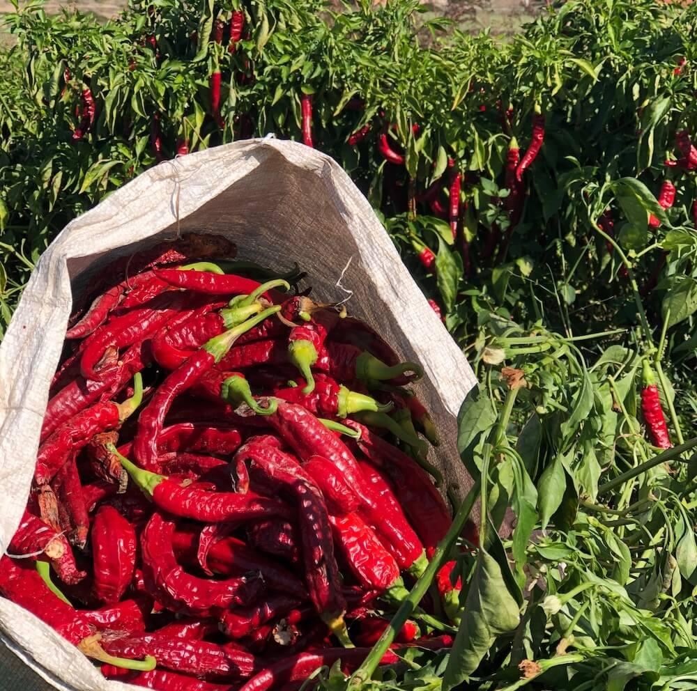 Paprika pepper farm