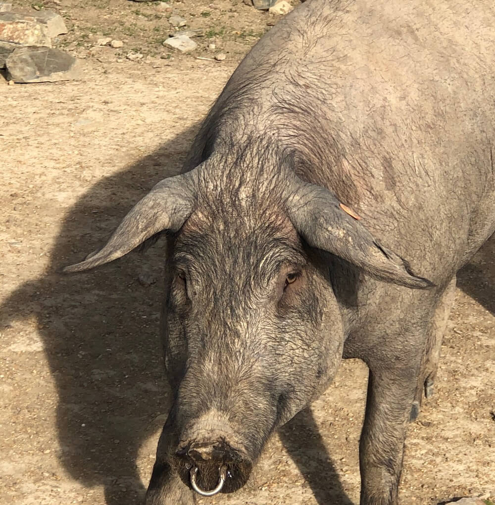 Iberian pig farm, Extremadura,