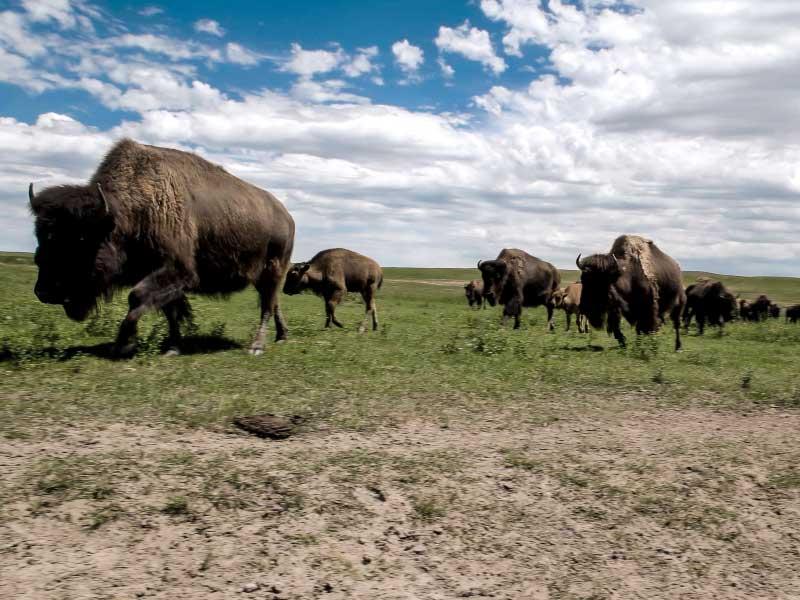 Cheyenne Terry Bison Ranch