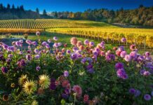Travel Salem Cristom Vineyards Dahlias Ron Cooper