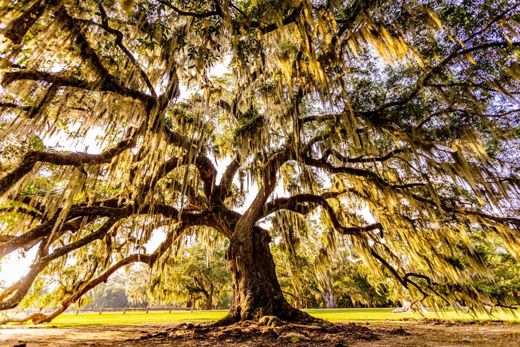Oak tree at Fontainebleau State Park.
