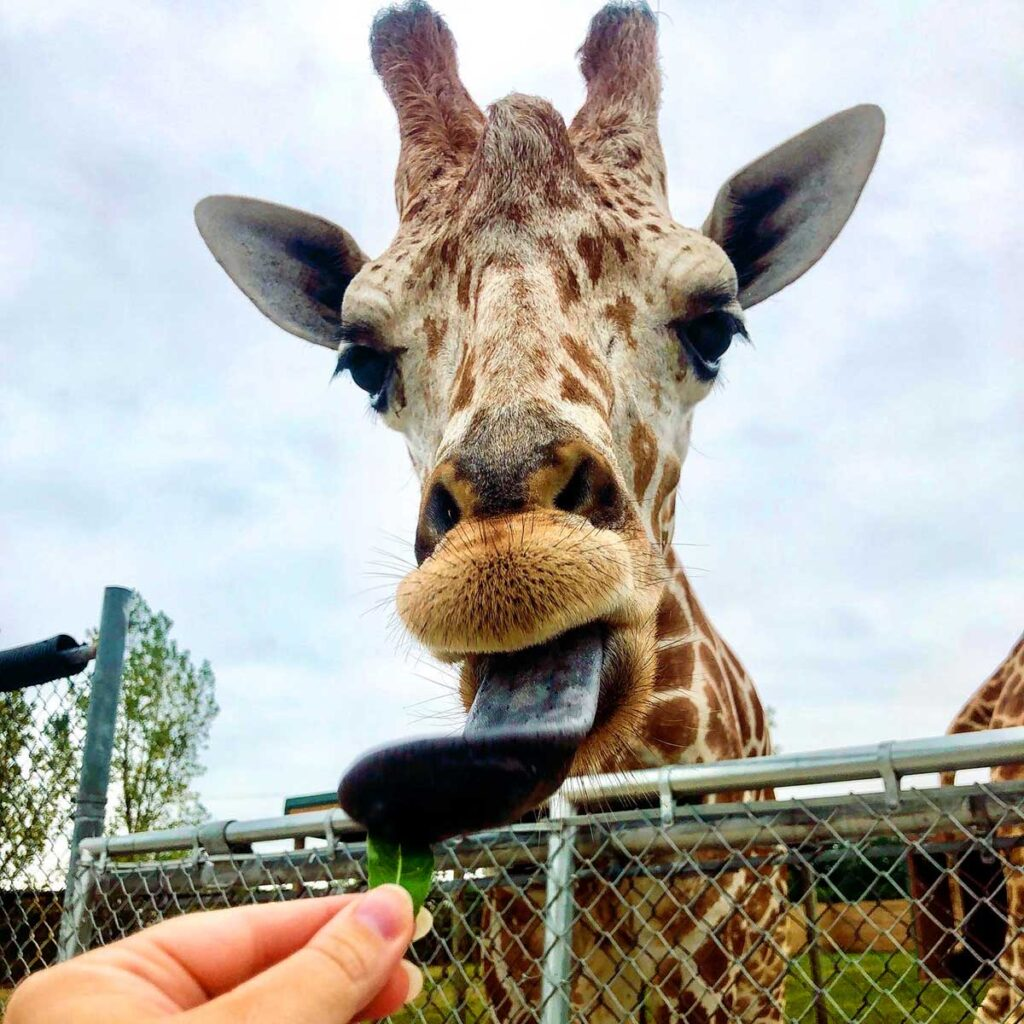 African Wildlife Safari giraffe Lake Erie Shores & Islands